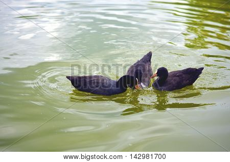 group of black ducks swimming and eating in lake