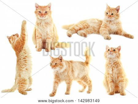 Fluffy red cat collection isolated on white background