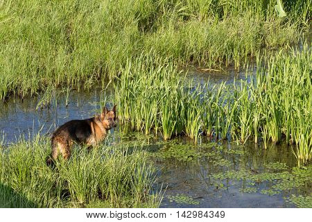 German shepherd dog (East European sheepdog) stands stand among the reeds near lake and looks into the distance. Concept of border guard service.