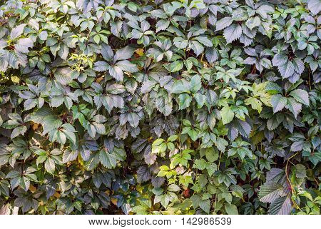 Surface covered with the green ivy leaves as a background texture