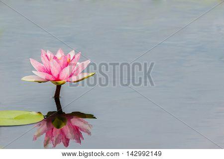 Close up blossom lotus flower focus on flower