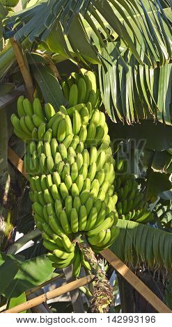 Bunch of green bananas growing on the tree in Madeira Portugal