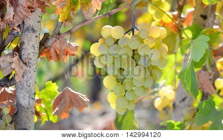 White grapes in the wineyard, close up