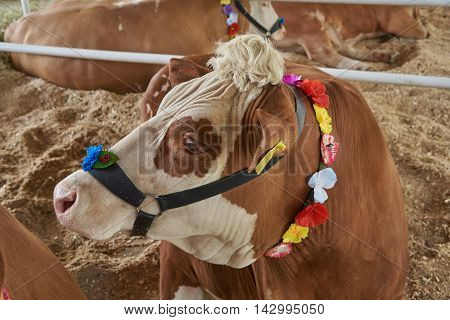 Portrait of red and motley cows in the bridle. The bridle is decorated with flowers
