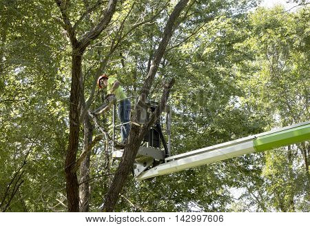 Worker uses a lift to cut down a dead tree.