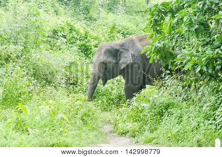 the gray elephant in the forest , elephant