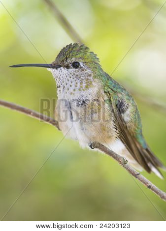 Broad tailed Hummingbird - Selasphorus platycercus