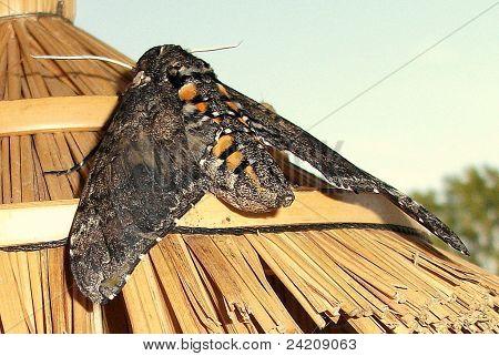 Tomato Hornworm (Manduca quinquemaculata) Moth