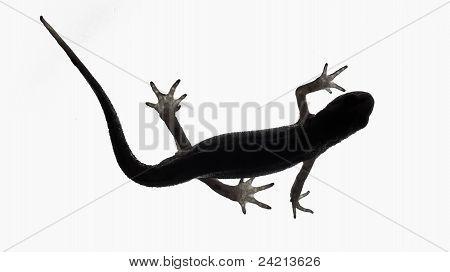 Palmate Newt. Triturus Helveticus