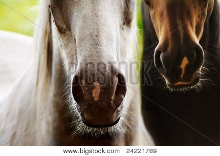 Two horses nostrils, brown and grey, side by side,closeup