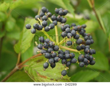 Wild Blue Berries, Portland, Maine