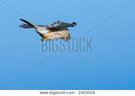 Falcon In The Air