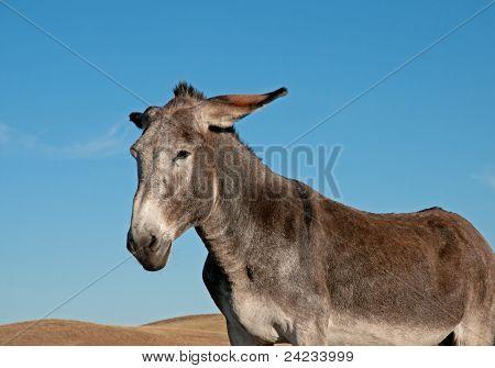 Gray burro