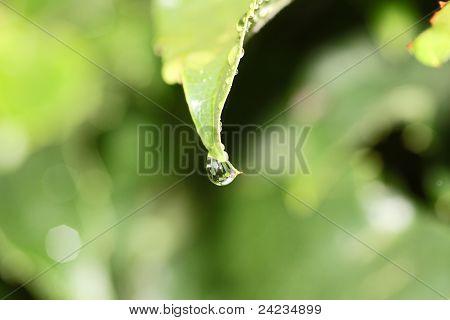 Rain drop falling off vine