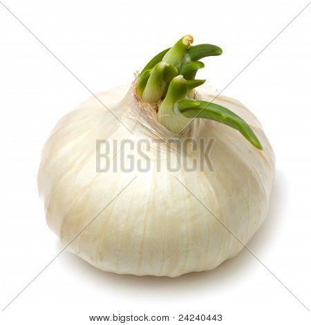 Single White Onion Isolated