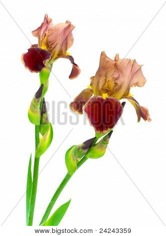 Blooming Irises On A White Background
