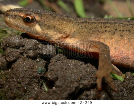 Smooth Newt 04