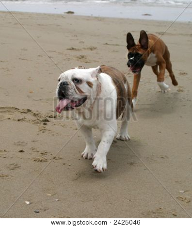 A Bulldog Being Chased By Boxer Puppy