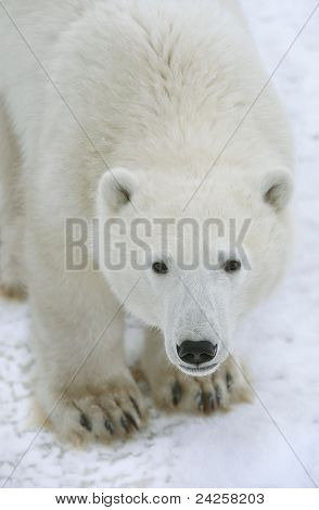 Polar Bear Portrait.