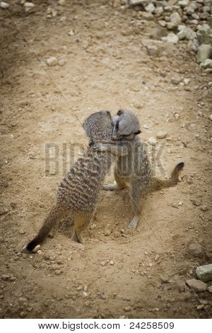 Meerkats Hugging In Love