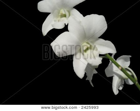 A White Orchids