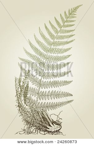 fern leaves, vector illustration