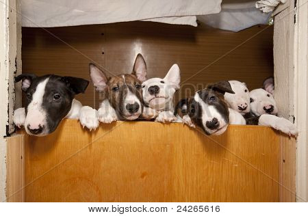 six young bullterriers