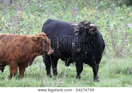 Highland Type Cattle