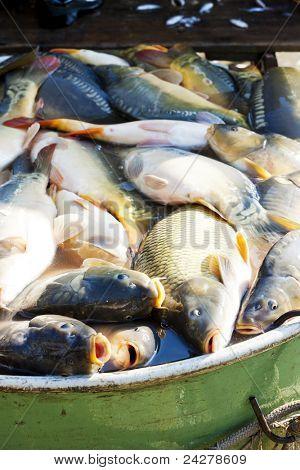 im MwSt bei der Ernte Teich Fische