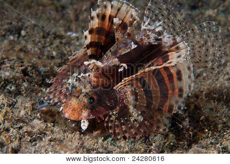 Dancing Lionfish
