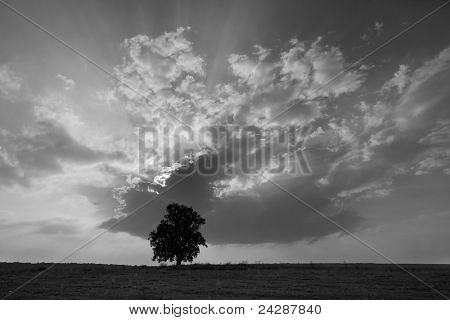 solitary oak tree in the sunset
