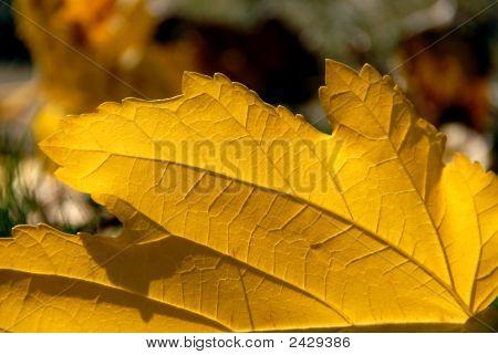 Sawtooth Leaf
