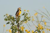 picture of meadowlark  - Western Meadowlark  - JPG