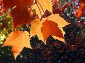 Transparent Maple Leaves