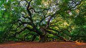 Southern Angel: The Angel Oak Tree, Charleston, South Carolina, United States poster