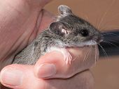 A Human Hand Loosely Holding A Gray Field Mouse, Peromyscus Maniculatus. This Is A Side View Of The  poster