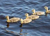 Canada goose (Branta canadensis) goslings swimming in lake.