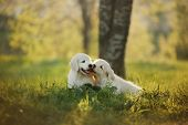 Two Golden Retriever Puppys Runs On Grass And Play. Outside poster