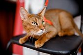 Wild Cat Crossed With Trot, Aggressive With Teeth, Brown, Short Coat poster