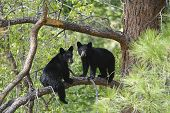 stock photo of bear-cub  - Two Black Bear Cubs Sitting on a Tree Branch up a Pine Tree - JPG