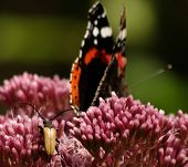 foto of loki  - Loki bug creeping up behind a Red Admiral Butterfly