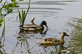 Drake And Female Mallard Duck Swimming In The Lake, South Park, Sofia, Bulgaria poster