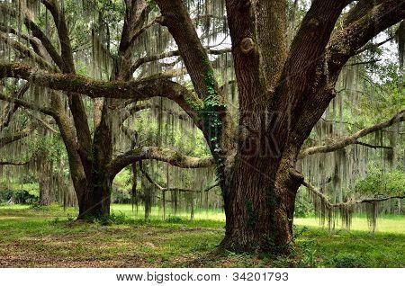 Spanish moss draped oaks at Hofywl-Broadfield Plantation