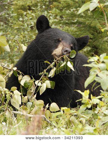 Hambre de oso negro