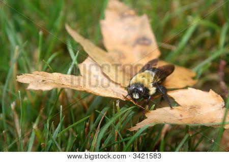 Dyingbumblebee
