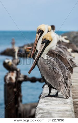 Looking Pelicans
