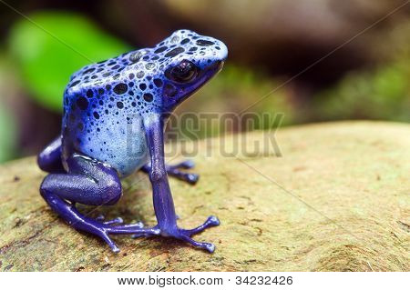 Blue poison dart frog, Dendrobates azureus, in its natural habitat with copy space
