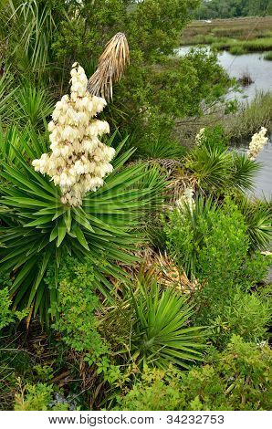 Yucca palms bloom in the spring