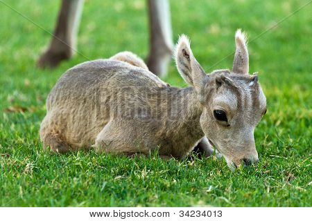 Desert Big Horn Sheep Baby Lamb