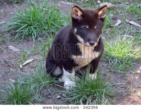 Dingo_pup_black0